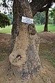 Kigelia africana - Santiniketan 2014-06-29 5379.JPG