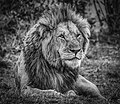 King^ Maasai Mara Kenya - Flickr - ラルフ - Ralf RKLFoto.jpg