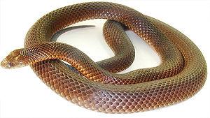 Mulga snake - Image: Kingbrownsnake