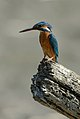 Kingfisher3.jpg
