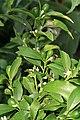 Kluse - Fortunella margarita - Kumquat 06 ies.jpg