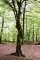 Knorriger Baum in der Rinderburg.jpg