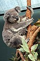 Koala Joey Boonda Sydney Wildlife World Darling Harbour (5879962504).jpg