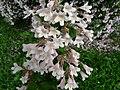 Kolkwitzia amabilis fleurs Périgueux.jpg