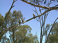 Kookaburras.jpg