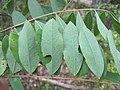 Korina 2011-08-16 Amorpha fruticosa.jpg