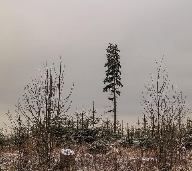 File:Krenkeltal Rothaarsteig in Sauerland. Eenzame naaldboom tussen jonge aanplant.jpg