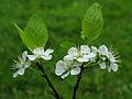 Krentenboompje (Amelanchier). Bloemen 03.JPG