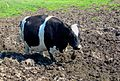 Kuh im Morast.jpg