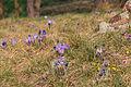 Kvetoucí koniklece v PP Kobylinec 22.jpg