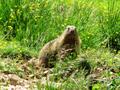 La Marmotta dell'altopiano.png
