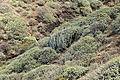 La Palma - Garafía - Vía Puerto de Garafía + Euphorbia balsamifera + Euphorbia canariensis 02 ies.jpg