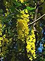 Laburnum × watereri, Saint Petersburg 02.jpg