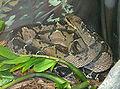 Lachesis stenophrys (1).jpg