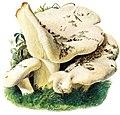 Lactarius-vellereus-gramberg-1913-pilzederheimatei00gram 0057.jpg