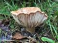 Lactifluus clarkeae from Greens Bush, Mornington Peninsula National Park, Victoria.jpg