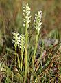 Ladies tresses Spiranthes romanzoffiana plants.jpg