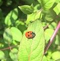 Ladybird (194105137).jpeg