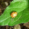 Ladybird larva changing to adult. - Flickr - gailhampshire.jpg