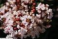 Lagerstoemia indica Burgundy Cotton 1zz.jpg