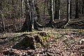 Lainzer Tiergarten März 2014 Wald am Schlossergassl 2.jpg