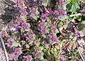 Lamium purpureum plant, paarse dovenetel (1).jpg
