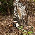 Langkawi Malaysia Rubber-trees-01.jpg