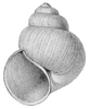 drawing of apertural view of a sinistral shell