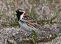 Lapland Longspur - Calcarius lapponicus - Sportittlingur 4.jpg