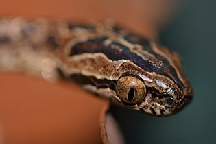 Large-spotted Cat Snake (Boiga multomaculata) 繁花林蛇9.jpg