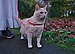 Larry the cat trying out his harness for the first time in Auderghem, Belgium (facing).jpg