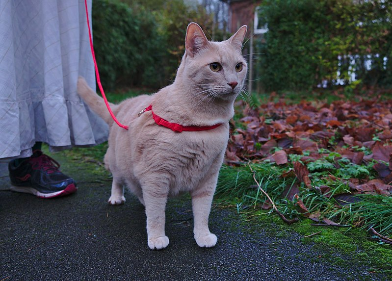 File:Larry the cat trying out his harness for the first time in Auderghem, Belgium (facing).jpg