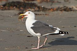 Larus occidentalis -California -with a crab in beak-8.jpg