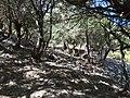 Las z duzym udziałem Quercus coccifera 1.jpg