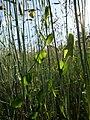 Lathyrus aphaca sl51.jpg