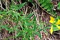 Lathyrus pratensis ENBLA04.jpg