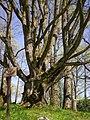 Latvia's third biggest maple - panoramio.jpg