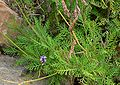 Lavandula canariensis 1.jpg