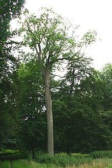 Le Frêne :  l'Axe du Monde dans TAO des arbres 220px-Le_Roeulx_AR9JPG