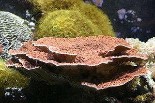 Leaf plate montipora species of cnidarian