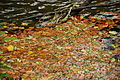 Leaves in the River Plym north of Cann Viaduct (1521).jpg