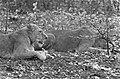 Leeuwen los in Burgers Dierenpark te Arnhem, Bestanddeelnr 921-3423.jpg