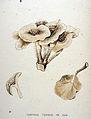 Lentinus tigrinus — Flora Batava — Volume v20.jpg