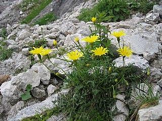 <i>Leontodon hispidus</i> species of plant