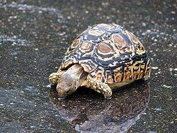 Leopard Tortoise (Stigmochelys pardalis) drinking rain water (14007735144)