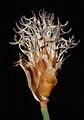 Lepidobolus preissianus - Flickr - Kevin Thiele (1).jpg