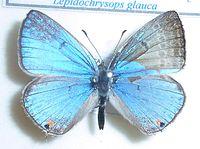 Lepidochrysops glauca, J Dobson, a.jpg