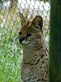 Leptailurus serval (4772261524).jpg