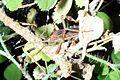 Leptoglossus occidentalis-2.jpg