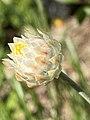 Leucochrysum albicans bud 01.jpg